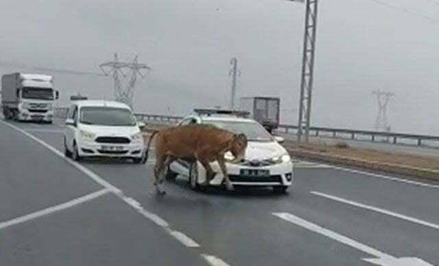 لحظة هروب العجل في شوارع تركيا