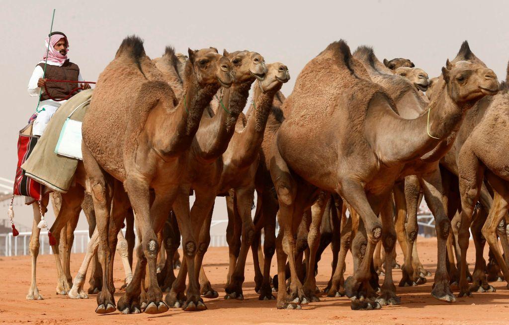 عمليات تجميل غريبة وجلسات حلاقة للإبل في السعودية